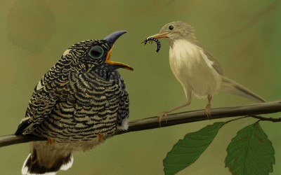 cuckoo marsh warbler mother hungry